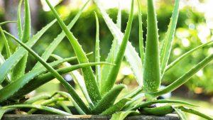 Aloe Vera - Air Purifying Indoor Plants India