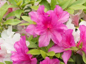 Azalea - Air Purifying Indoor Plants India