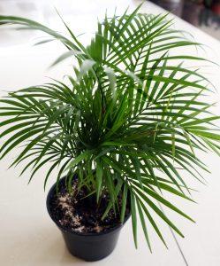ต้นไผ่ - พืชในร่มฟอกอากาศอินเดีย