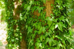 English Ivy - Air Purifying Indoor Plants India