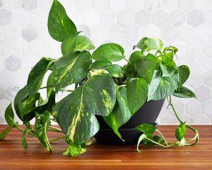 Golden Pothos - พืชในร่มฟอกอากาศในอินเดีย