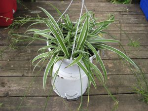 Green Spider Plant - Air Purifying Indoor Plants India