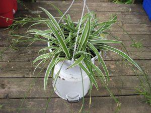 Green Spider Plant - พืชในร่มฟอกอากาศในอินเดีย