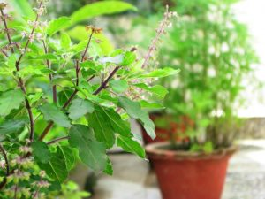 Indian Basil - Tulsi - Air Purifying Indoor Plants India