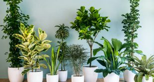 Air Purifying Plants - Air Purifying Indoor Plants - Anti Pollution Plants India