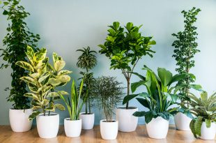 Air Purifying Plants - Air Purifying Indoor Plants - Anti Pollution Plants