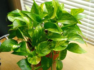 Money Plant - พืชในร่มฟอกอากาศอินเดีย