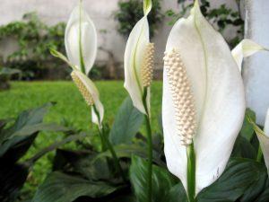 Peace Lily - พืชในร่มฟอกอากาศในอินเดีย