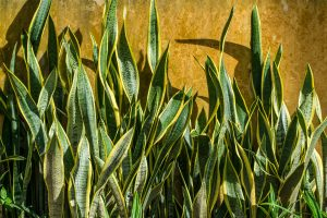 Snake Plant - Air Purifying Indoor Plants India