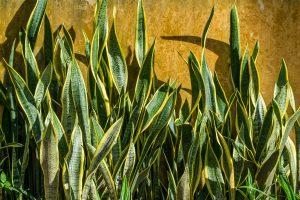Snake Plant - พืชในร่มฟอกอากาศในอินเดีย