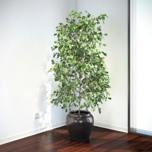 Weeping Fig - Air Purifying Indoor Plants India