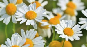 chamomile home remedies for stomach infection
