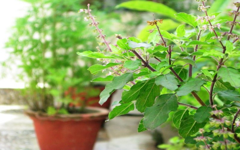 tulsi - viral fever home remedies