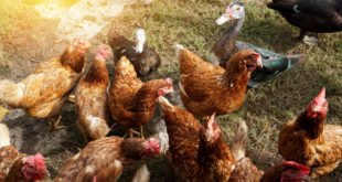 birdflu, bird flu symptoms, Avian Influenza