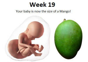 19ª semana de gravidez, 19 semanas de gravidez